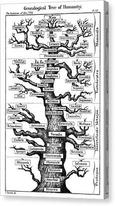 Haeckel's Scheme Of Evolution Canvas Print by Universal History Archive/uig
