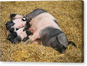 Haellisches Pig With Piglets Canvas Print by Duncan Usher