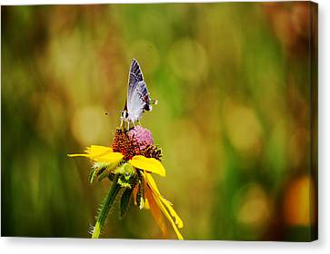 Hairstreak Butterfly On A Brown-eyed Susan Canvas Print by Lorri Crossno