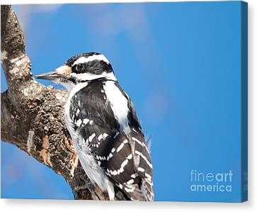 Hairy In Blue Canvas Print