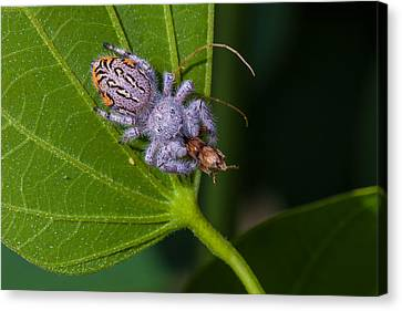 Hairy White Spider Eating A Bug Canvas Print by Craig Lapsley