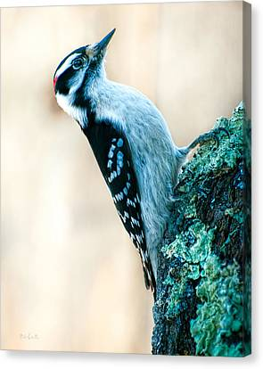 Hairy Woodpecker Canvas Print by Bob Orsillo