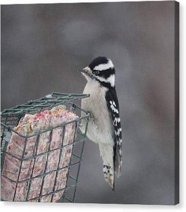 Hairy Woodpecker Canvas Print by Heidi Hermes