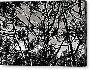Hala Trees Canvas Print by Kim Pippinger