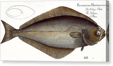 Halibut Canvas Print by Andreas Ludwig Kruger