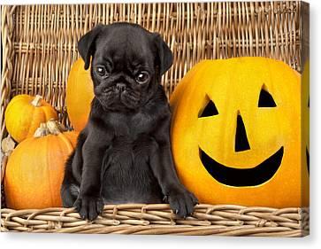 Halloween Pug Canvas Print by Greg Cuddiford