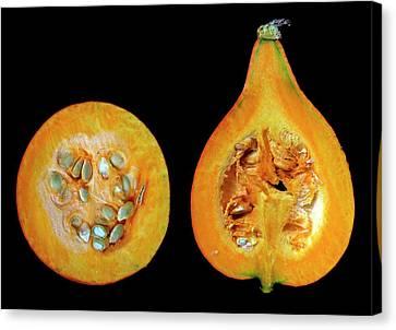 Halved Pumpkins Canvas Print