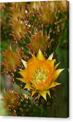 Hamanns Prickly Pear Cactus Canvas Print by Cindy McDaniel