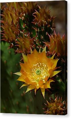 Hamanns Prickly Pear Cactus II Canvas Print by Cindy McDaniel