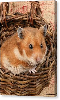 Hamster In Basket Canvas Print by Greg Cuddiford