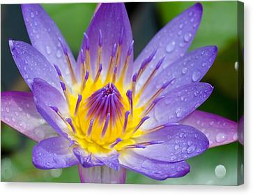Hana Water Lily Canvas Print by Hawaii  Fine Art Photography