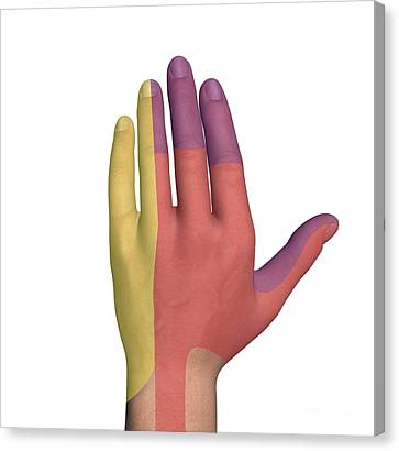 Hand Dorsal Nerve Regions, Artwork Canvas Print by D & L Graphics
