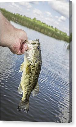 Hand Holding Largemouth Bass Canvas Print by Thomas Young