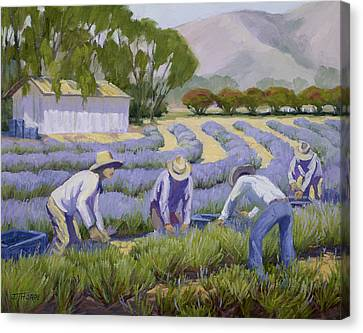 Hand-picked Lavender Canvas Print by Jane Thorpe