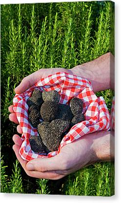 Hands Holding A Summer Black Truffles Canvas Print by Nico Tondini