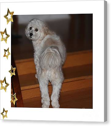 Handsome Havanese Pup Canvas Print by Barbara Griffin