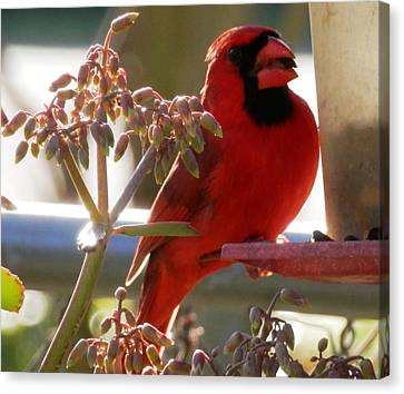 Handsome Red Male Cardinal Visiting Canvas Print by Belinda Lee