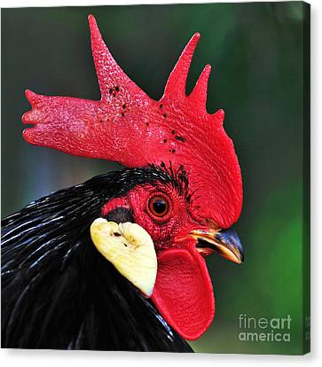 Handsome Rooster Canvas Print by Kaye Menner