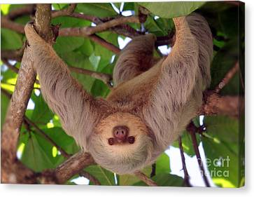 Sloth Canvas Print - Hangin' Out by Bob Hislop