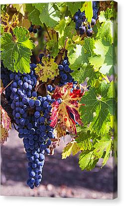 Hanging Grapes Canvas Print by Garry Gay