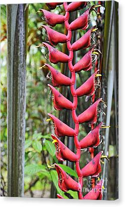 Hanging Heliconia Flower Canvas Print by Sami Sarkis