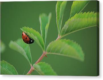 Canvas Print featuring the photograph Hanging On by Ken Dietz