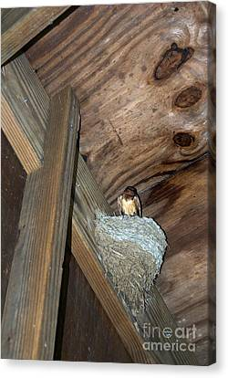 Hanging Out At The Barn Swallows Canvas Print by Skip Willits