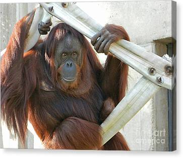 Canvas Print featuring the photograph Hanging Out - Melati The Orangutan by Emmy Marie Vickers