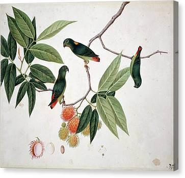 Hanging Parrot Canvas Print by Natural History Museum, London