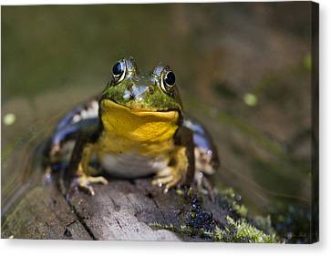 Happiness Frog Canvas Print by Christina Rollo