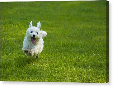 White Maltese Canvas Print - Happiness Is Running Free #1 by Pat Exum
