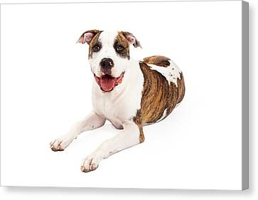 Happy American Staffordshire Terrier Dog Laying Canvas Print by Susan Schmitz