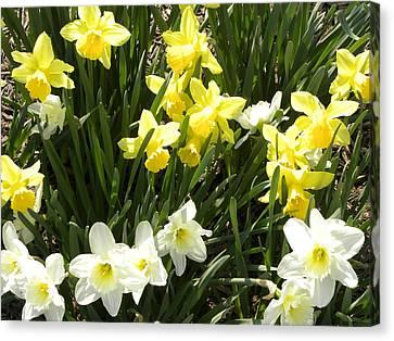 Happy Daffodils  Canvas Print by Cim Paddock
