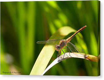 Happy Dragonfly 01 Canvas Print