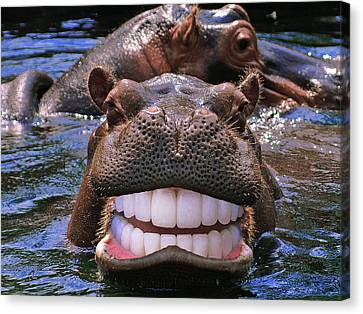 Happy Hippo Canvas Print by Chris Campbell