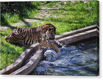 Tiger Canvas Print - Happy Hour by Joan Carroll