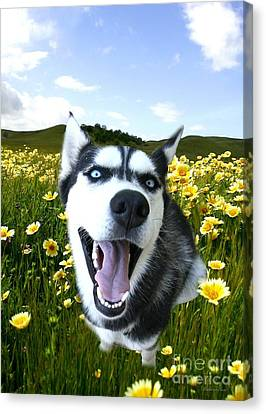 Happy Husky Canvas Print by Stephanie Laird
