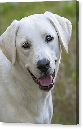 Canvas Print featuring the photograph Happy Lab by Stephen Anderson