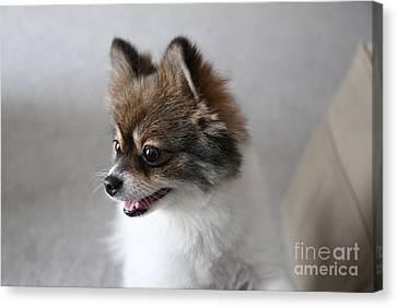 Happy Pomeranian Canvas Print by Suzi Nelson