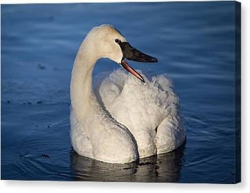Canvas Print featuring the photograph Happy Swan by Patti Deters