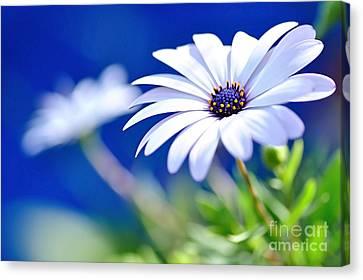 Happy White Daisy 2- Blue Bokeh  Canvas Print by Kaye Menner