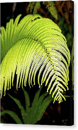 Canvas Print featuring the photograph Hapu'u Fern Frond by Lehua Pekelo-Stearns