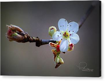 Canvas Print featuring the photograph Harbinger Of Spring by Ludwig Keck