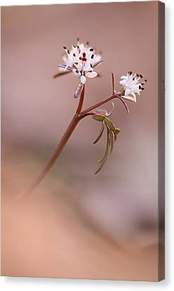 Harbinger Of Spring Canvas Print by Robert Charity