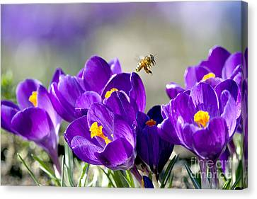 Harbinger Of Spring Canvas Print by Sharon Talson