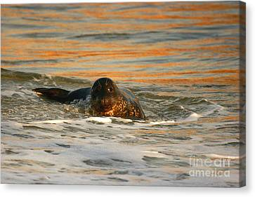 Canvas Print featuring the photograph La Jolla Seal Sunset by John F Tsumas