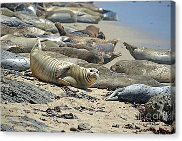 Harbor Seals Lounging On The Beach At Fitzgerald Reserve Canvas Print by Jim Fitzpatrick