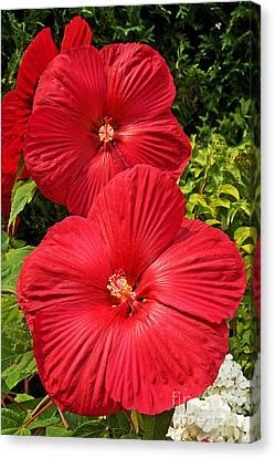 Canvas Print featuring the photograph Hardy Hibiscus by Sue Smith