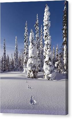Hare Tracks In Deep Snow Canvas Print
