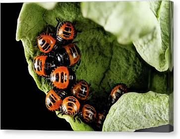 Harlequin Cabbage Bug Nymphs Canvas Print by Us Geological Survey